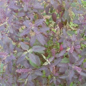 Cây hương nhu tía và công dụng của cây hương nhu tía