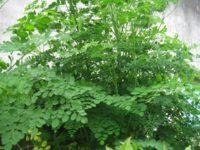 Tại sao tác dụng của cây chùm ngây được gọi là thần kỳ?