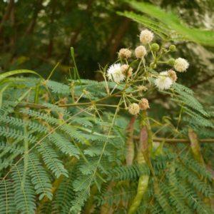 Cây keo giậu và công dụng chữa bệnh từ cây keo giậu