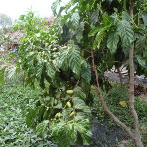 Cây nhàu và công dụng chữa bệnh của cây nhàu
