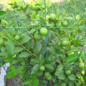 Cây chanh và công dụng của cây chanh