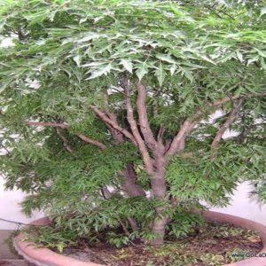 Cây đinh lăng và công dụng chữa bệnh của cây đinh lăng