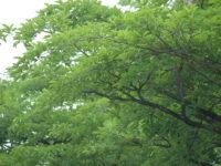 Cây chiêu liêu và công dụng của cây chiêu liêu