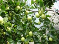 Cây táo ta và công dụng chữa bệnh của cây táo ta