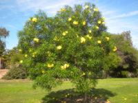 Cây thông thiên và công dụng chữa bệnh của cây thông thiên