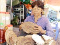Săn nấm linh chi to như chiếc thúng giữa rừng già Phú Quốc
