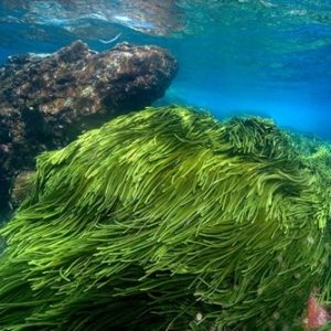 Rong biển: Món ăn giàu dinh dưỡng cho cơ thể người