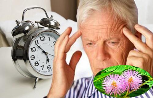 Điều trị mất ngủ bằng cây trinh nữ