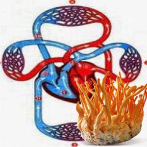Tác dụng của đông trùng hạ thảo với hệ tuần hoàn tim mạch