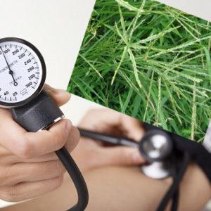 Cỏ mần trầu và các bài thuốc hỗ trợ điều trị huyết áp cao