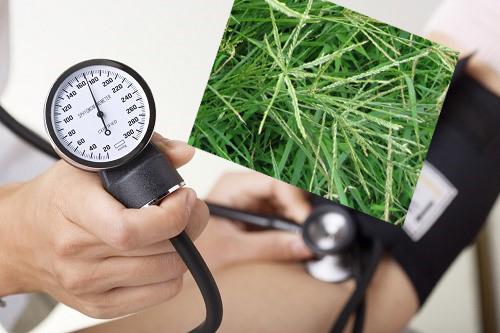 Điều trị huyết áp cao bằng cỏ mần trầu