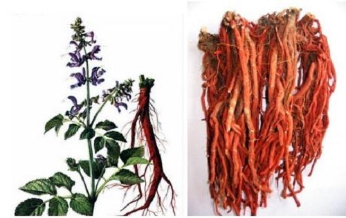Bài thuốc chữa bệnh bằng cây đan sâm