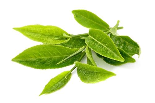 Chữa bệnh chàm bằng lá trà xanh