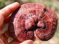 Bệnh mỡ máu và cách chữa bệnh mỡ máu bằng nấm linh chi ít người biết