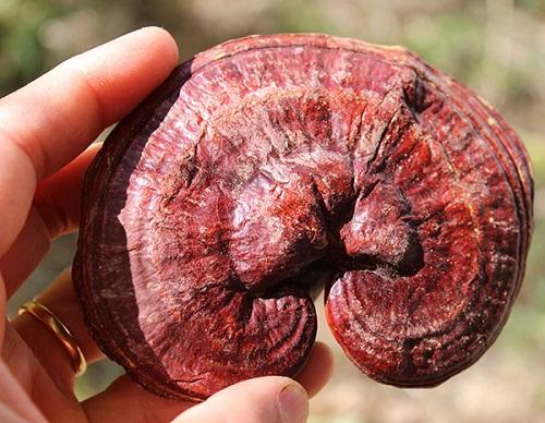 Chữa bệnh mỡ máu bằng nấm linh chi