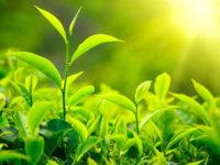 Lá trà xanh rất tốt cho sức khỏe