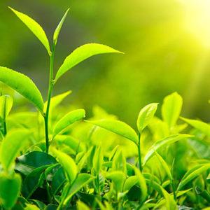 Lợi ích của trà xanh trong việc chữa viêm khớp
