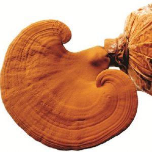 Một số cách phân loại nấm linh chi