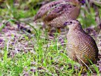 Thịt chim cút và những món ăn bài thuốc dùng trong chữa bệnh